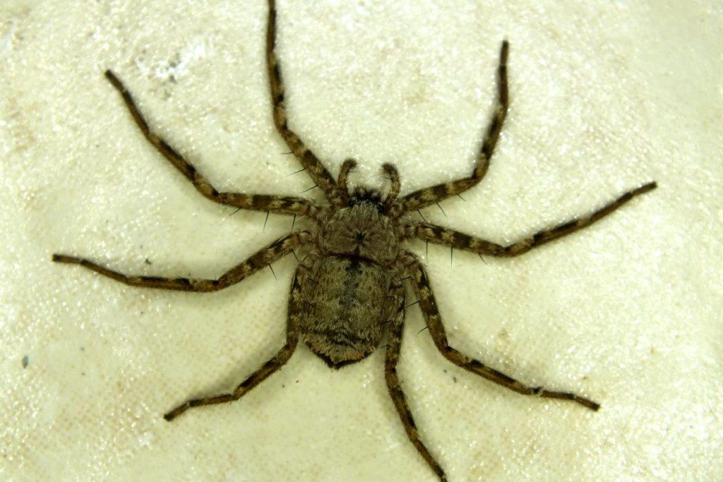 Örümcek Selenopidae