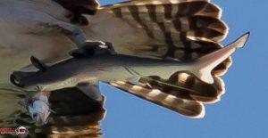 Balık kartalı fotoğraf