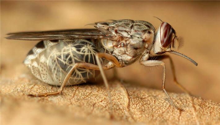 hayvanlar çeçe sineği