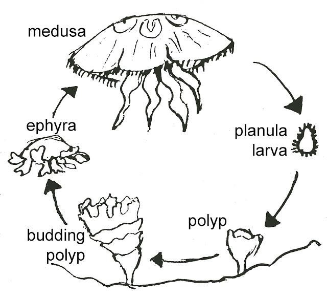 Ölümsüz denizanası Turritopsis doohmii